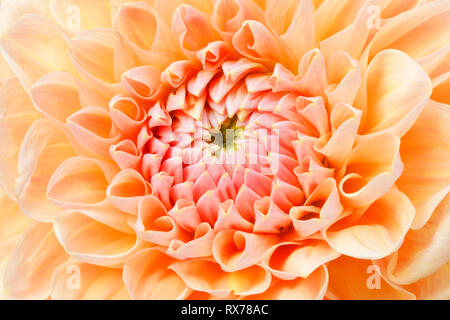 botany, dahlia (dahlia), Switzerland, Additional-Rights-Clearance-Info-Not-Available - Stock Image