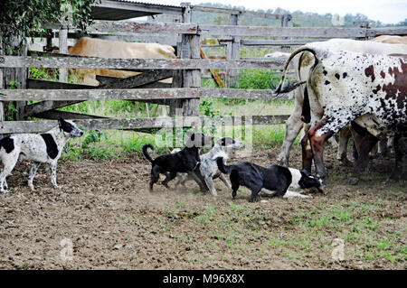 DOGS, WORKING DOGS - Stock Image
