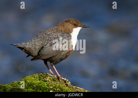 Water blackbird, Cinclus cinclus, Wasseramsel (Cinclus cinclus) - Stock Image