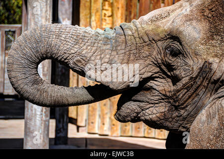 Zoo Elephant Feeding - Stock Image