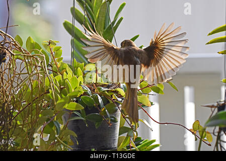 A Streak-eared Bulbul (Pycnonotus blandfordi conradi) about to settle on it's nest with food for it's chick in a garden in Eastern Bangkok - Stock Image