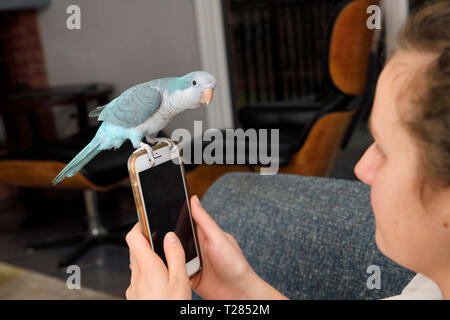 Quaker parrot bird perched on smartphone held by young woman at home - Stock Image