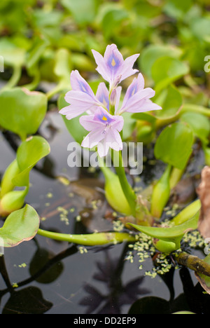 Flowering water plant at Koi Gardens, Spokane, Washington State, USA. - Stock Image