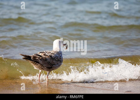 A seagull standing in shallow sea water holds something in its bow. It is observed on the coast of the Baltic Sea in Poland in Kolobrzeg. - Stock Image