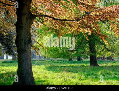 copper beech tree in countryside setting, norfolk, england - Stock Image