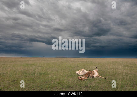 Mother lion feeding cubs in the Savannah, with stormy sky. Kenya, Africa. - Stock Image