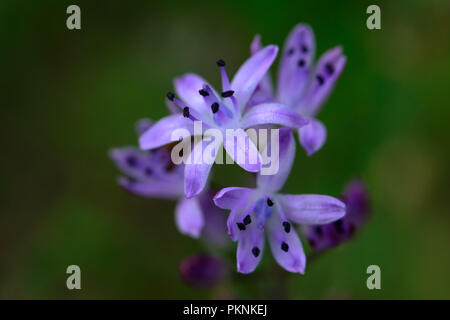 Prospero autumnale, the autumn squill, an autumn plant of the Asparagaceae family. Sardinia South West, is located in the Mediterranean. - Stock Image