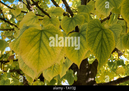 Yellow and green leaves of linden tree in autumn - Stock Image