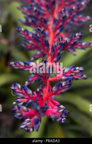 Beautiful Aechmea Blue Rain bromeliad - Stock Image