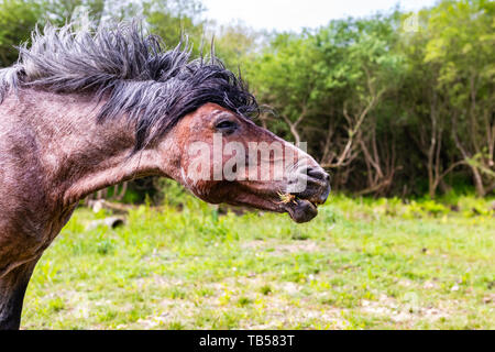 Side-on animal portrait of brown wild pony shaking its head, in Dorset, England. - Stock Image