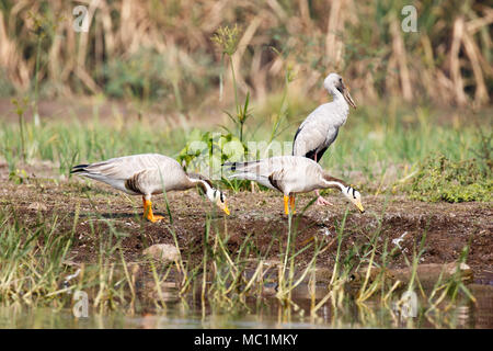 Bar-headed goose (Anser indicus) with open bill - Stock Image