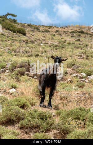 Crete, Greece. June 2019. A Cretan mountain goat with a bell around its neck standing alone  mountaintside. - Stock Image