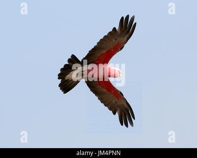 Australian Rose breasted Cockatoo or Galah Cockatoo (Eolophus roseicapilla) in flight. - Stock Image