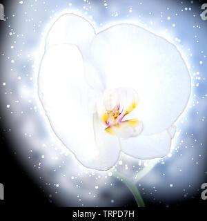 Digitally enhanced image of a single white Orchid on black back ground - Stock Image