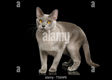 Gray Cat Burmese walk of full length with funny eyes on isolated black background, side view - Stock Image