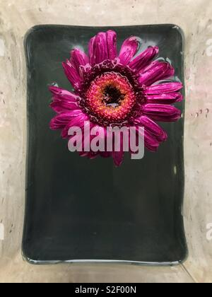 Single pink gerbera daisy flower head floating inside a rectangular vase with murky plant water. - Stock Image