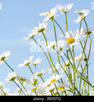 Oxeye daisies against blue sky - Stock Image