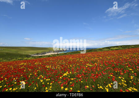 West Pentire, Cornwall, UK. 15th June 2019. UK Weather. Fields of poppies and corn marigolds out in full bloom in the sunshine at west pentire this morning. Credit Simon Maycock / Alamy Live News. - Stock Image