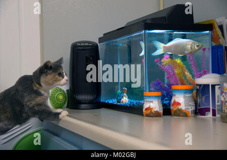 A kitten investigates the fish tank at the animal shelter. - Stock Image