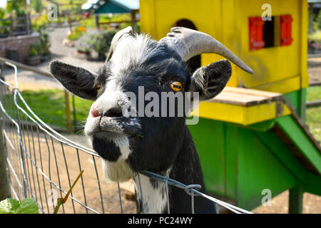 A male British Alpine goat, or Toggenburg Goat sticks his head over a fence. - Stock Image