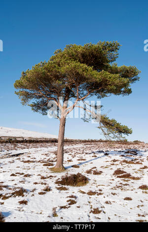 Image of a lonely mountain pine on a hill slope. - Stock Image