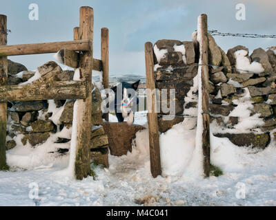 Border collie (useful) dog playing fetch the ball in the snow near Solomon's Temple also called Grinlow Tower - Stock Image