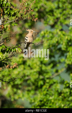 Hoopoe, Latin name Upupa epops, perched on a branch in woodland habitat with a grub in its beak - Stock Image