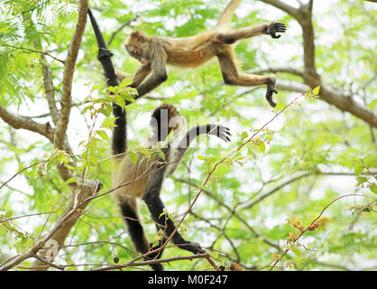 Central American Spider Monkeys (Ateles geoffroyi) playing. Santa Rosa National Park, Guanacaste, Costa Rica. May - Stock Image