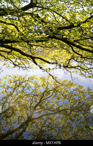 Spring foliage reflected in Haining Loch, Selkirk, Scotland, UK - Stock Image