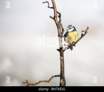 Blue Tit, Cyanistes caeruleus, perched on a branch against a natural snowy background. - Stock Image
