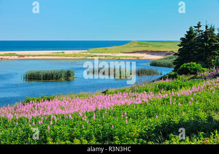 Canada, Prince Edward Island, Priest Pond. Fireweed along Gulf of St. Lawrence. - Stock Image