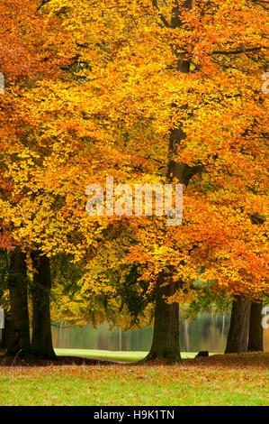 Beech trees (Fagus sylvatica) in their autumn colours in front of the lake at Studley Royal, Ripon, North Yorkshire. - Stock Image