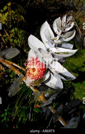 Flower and leaves of Eucalyptus macrocarpa, or Mottlecah, a native Western Australian mallee Eucalypt - Stock Image