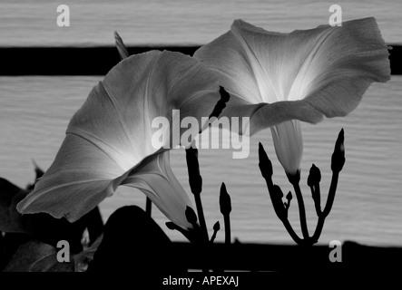 Morning Glory flowers, Jericho Vermont USA - Stock Image