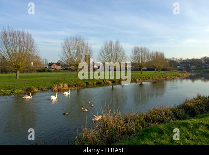 Swans and ducks on the River stour to the west of Sudbury on the Suffolk Essex border - Stock Image