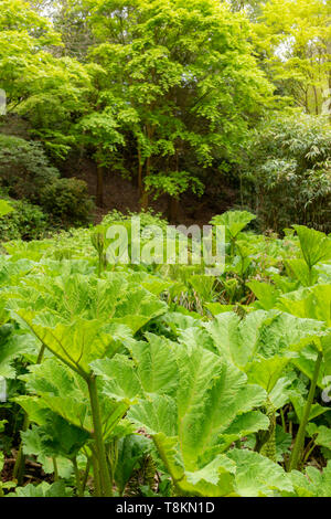 Colour photograph in portrait format of Giant Rhubarb Gunnera plants (Gunneraceae) with green deciduous trees in background. Branksome gardens, Poole, - Stock Image