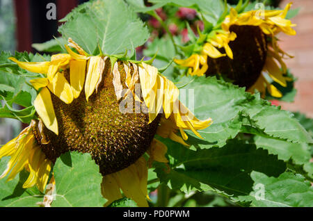 Sunflower flowers suffering in the heat and getting past their best. - Stock Image
