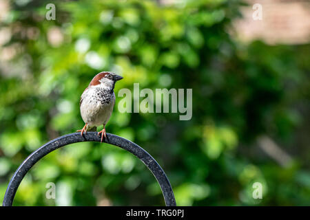 City wildlife with a house sparrow (Passer domesticus) perched on a garden bird feeder - Stock Image