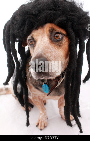 AN AUSTRALIAN CATTLE DOG WEARING A DREADLOCK WIG  VERTICAL PORTRAIT PHOTO WHITE BACKGROUND BDA - Stock Image