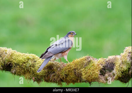 A male Sparrowhawk (Accipiter nisus) perched on a moss covered branch in British woodland. - Stock Image