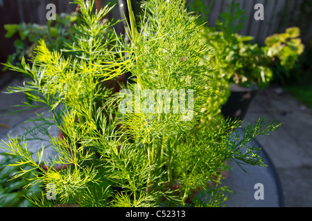 Home Grown Dill in planter with early morning sunshine. - Stock Image