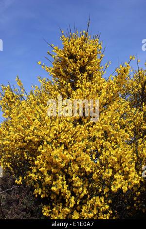Broom (Cytisus scoparius : Fabaceae), UK. - Stock Image