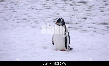 Portrait of an Adelie penguin Pygoscelis adeliae on on the snow - Stock Image