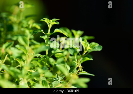 Close-up of oregano growing - Stock Image
