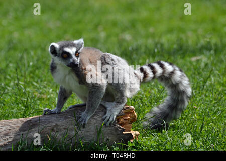 Ring tailed lemur enjoying the sunshine on the lawn at Tropical Wings Zoo, Chelmsford, Essex, UK. This zoo closed in December 2017. - Stock Image