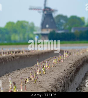 New harvest season on asparagus vegetable fields, white and purple asparagus growing uncovered on farm, countryside landscape with Dutch wind mill - Stock Image