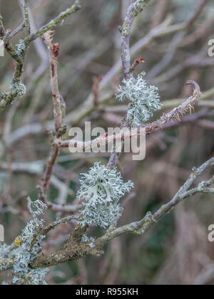 Close-up of pale green-yellow, whispy, tree lichen on a twig. Sign of a clean atmosphere apparently. - Stock Image