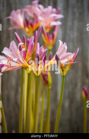 The newly opened flowers and buds of Amaryllis belladona, Naked Ladies, or Resurrection Lilies, growing in Wichita, Kansas, USA. - Stock Image