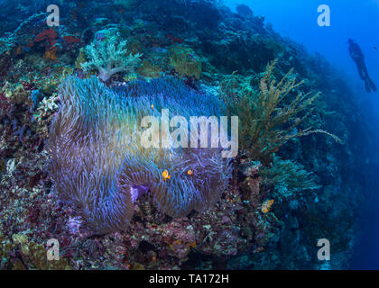 Bioluminescent magnificent anemone with clownfish nestling in its tentacles on a steep coral reef with scuba diver looking on in blue water background - Stock Image
