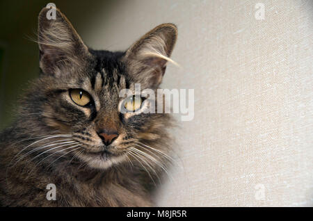 A cat waits patiently to be adopted at the local animal shelter. - Stock Image